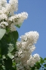 Семейство Oleaceae-Маслинные Syringa vulgaris hort cv. Excellent