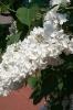 Семейство Oleaceae-Маслинные Syringa vulgaris hort cv. Flora