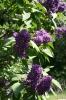 Семейство Oleaceae-Маслинные Syringa vulgaris hort cv. Furst Bulow