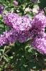 Семейство Oleaceae-Маслинные Syringa vulgaris hort cv. Hugo de Vries