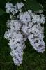 Семейство Oleaceae-Маслинные Syringa vulgaris hort cv. Madam Charles Souchet