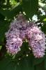 Семейство Oleaceae-Маслинные Syringa vulgaris hort cv. Maximowicz