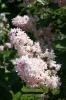 Семейство Oleaceae-Маслинные Syringa vulgaris hort cv. Mme Antoine Buchner