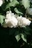 Семейство Oleaceae-Маслинные Syringa vulgaris hort cv. Mme Casimir Perier