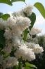 Семейство Oleaceae-Маслинные Syringa vulgaris hort cv. Mme Lemoine