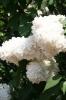 Семейство Oleaceae-Маслинные Syringa vulgaris hort cv. Monigue Lemoine
