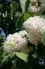 Семейство Oleaceae-Маслинные Syringa vulgaris hort cv. Mont Blanc