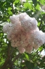 Семейство Oleaceae-Маслинные Syringa vulgaris hort cv. Montaigne