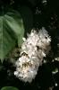 Семейство Oleaceae-Маслинные Syringa vulgaris hort cv. Monument