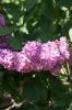 Семейство Oleaceae-Маслинные Syringa vulgaris hort cv. Paul Hariot