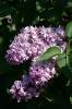 Семейство Oleaceae-Маслинные Syringa vulgaris hort cv. President Poincare