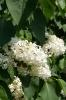 Семейство Oleaceae-Маслинные Syringa vulgaris hort cv. Primrose