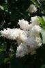 Семейство Oleaceae-Маслинные Syringa vulgaris hort cv. Princesse Clementine