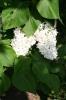 Семейство Oleaceae-Маслинные Syringa vulgaris hort cv. Vestale