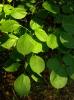Древогубец круглолистный Листья
