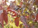 Дёрен кроваво-красный Осенняя окраска и плоды