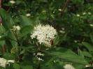 Дёрен белый Цветение
