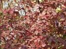 Дёрен белый Осенняя окраска