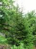 Picea_orientalis