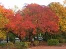 Осенняя окраска Боярышника обыкновенного