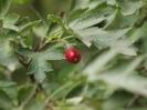 Боярышник Согнутостолбиковый Плоды