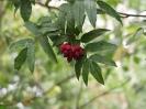 Рябина бузинолистная Плоды