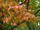 Рябина ольхолистная Осенняя окраска
