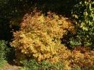 Рябина бузинолистная Осень
