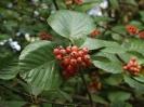 Рябина греческая Плоды и листья