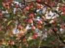 Яблоня торинговидная Плодоношение