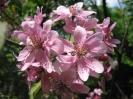 Яблоня замечательная Рубра Плена