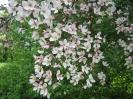 Яблоня обильноцветущая Цветы