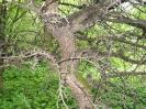 Яблоня торинговидная Ветви и ствол