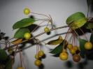 Яблоня Цуми