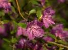 Рододендрон Ледебура Цветение