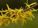 Гамамелис весенний