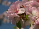 Луизеания вязолистная Цветки