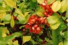 Айва японская Цветение