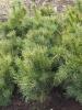 Pinus pumila 'Globosa'