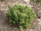 Pinus pumila 'Mini Mops'